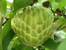 Amazoncom  Soursop Annona Muricata 4 Seeds Qty Pack  Fruit Annona Fruit Tree