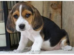 cute beagle puppies. Plain Puppies Cute Beagle Puppies Ready Now For New Home  11 Inside Puppies G