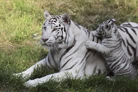 white tiger. Exellent Tiger For White Tiger