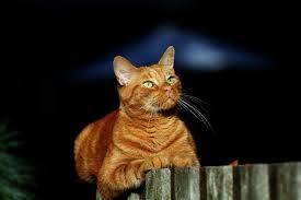 red, portrait, orange, pet, cats ...