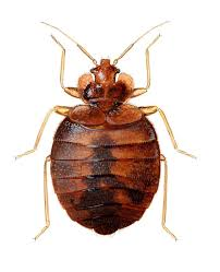 View Bedbugs Norsk Background