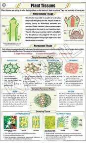 Art Chart Plant Tissues For Botany Chart
