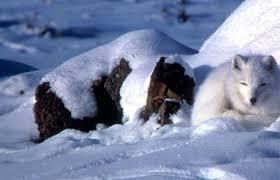 arctic fox species profile alaska
