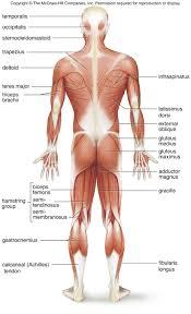 muscular skeleton gallery human anatomy reference muscular skeleton gallery human anatomy reference muscular skeleton images human anatomy reference human skeleton and muscular