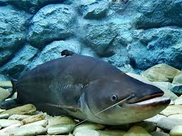 Samoan Fish Chart Native Fish Of Afghanistan Worldatlas Com