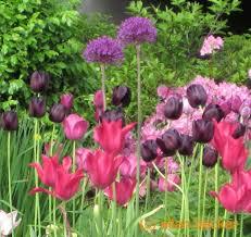 Small Picture Allium Alert About Those Tall Purple Balls Journal Garden
