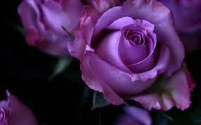 Purple Rose Desktop Wallpapers - Top ...
