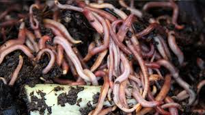 you probably know that worms are good for the soil charles darwin wrote in his final book that worms have played a more important part in the history of