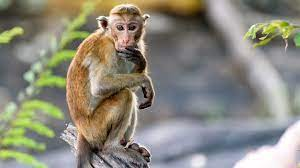 Monkey B Virus Death Recorded in China: What Is It? How Does It Spread?