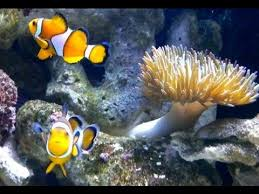 baby clown fish eggs. Delighful Fish Clownfish Laying Eggs My Nemo Clownfish Are Having Babies In Baby Clown Fish Eggs E