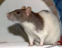 20 Comprehensive Feeder Mice Size Chart