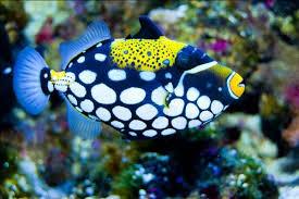 clown triggerfish.  Triggerfish Clown Triggerfish Balistoides Conspicillum With Triggerfish O