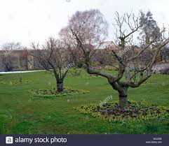 Stock Photo Of Fruit Trees In Blossom In Small Orchard Underplanting Fruit Trees