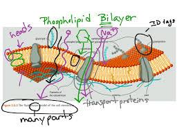 cell membrane structure cell membrane structure