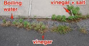 how to get rid of weeds in garden. You Can See How Fast The Boiling Water Worked. Weeds Started To Turn Brown Right Away. Vinegar-sprayed Side, However, Showed No Change (not That I Get Rid Of In Garden T