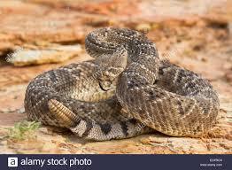 rattlesnake strike pose.  Rattlesnake Western Diamondback Rattlesnake In Aggressive Strike Pose Inside Rattlesnake Strike Pose Alamy