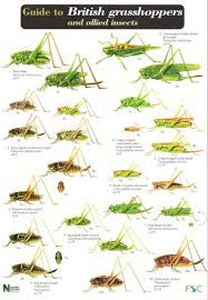 Invertebrate Identification Chart A Guide To British Grasshoppers And Allied