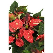 Weihnachtsstern Rot Weiß Gefleckt Topf ø Ca 105 Cm Euphorbia Pulcherrima