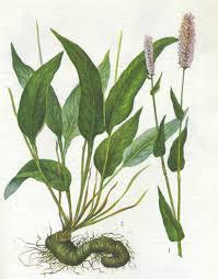 Курсовая работа Лекарственные растения семейства polygonaceae и  1 и 2 общий вид цветущего растения