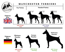 Manchester Terrier Size Chart Meet The Breeds Information For The Manchester Terrier