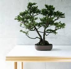 bonsai tree for office. bonsai tree feng shui for office