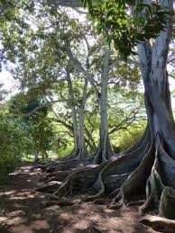 allerton garden reviews. allerton garden: fig trees from jurassic park movie garden reviews i