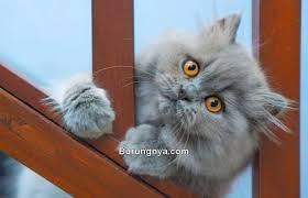 15 Fakta Menarik Kucing Persia Paling Menakjubkan Burungnya Com
