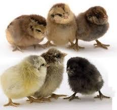 Day Old Chick Identification Meyer Hatchery