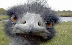 Image result for ostrich face