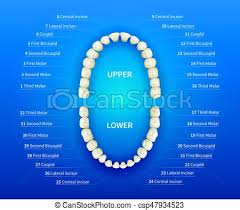 Dental Numbering Chart Human Mouth With Tooth Numbering Chart On Blue Background