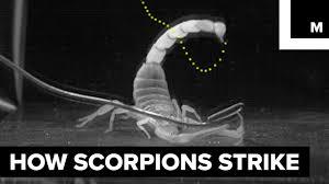 How <b>scorpions sting</b> - YouTube