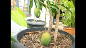 How To Grafting Fruit Trees  Graft Meaning UrduHindi  How To How To Graft Fruit Trees With Pictures