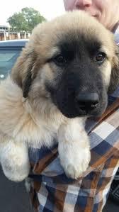 german shepherd tibetan mastiff mix. Wonderful Tibetan Tibetan MastiffGerman Shepard Mix Anatolian Shepherd German Shepherd Mix  Kangal Dog For Mastiff R