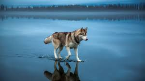 dogs wallpaper. Modren Dogs Siberian Husky Dog Wallpaper To Dogs A