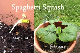 spaghetti squash may to june 2016