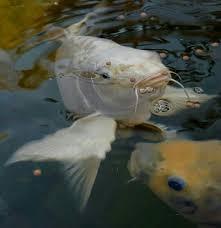 Gracie | Fish pet, Koi pond, Pets