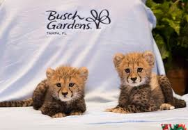 cheetah cubs at busch gardens