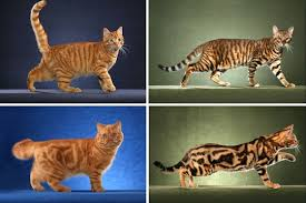 Tabby Patterns Inspiration Same Gene Guides Cheetah And Tabby Cat Coat Patterns Science
