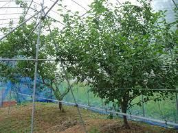 プルーン 栽培