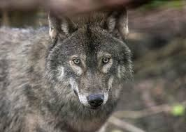 Why do <b>wolves howl</b>? Wolves do not howl at the <b>moon</b>.