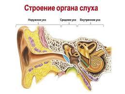 Видеоурок Ухо не только орган слуха Ухо орган равновесия по  Наружное