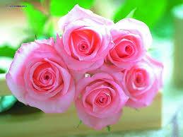valentine roses wallpaper. Delighful Valentine Dreamy Pink Roses Wallpaper 1024768 Desktop On Valentine M