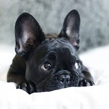 black french bulldog puppy. Contemporary French FrenchBulldogblackeyes To Black French Bulldog Puppy C