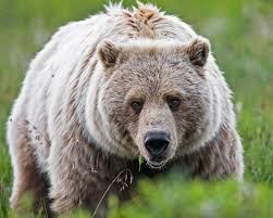bear faced lie amgen retracts diabetes paper due to data manipulation amgen retracts diabetes paper due to data manipulation