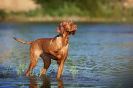 vizsla best hunting dog