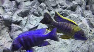 Aulonocara Lwanda red top select/ Southeast cichlids - YouTube