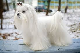 maltese dog. a dog breed who\u0027s gentle and fearless, the maltese greets everyone as friend. his glamorous white coat gives him look of haughty nobility, but looks can .
