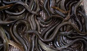 Image result for eels