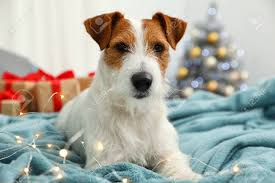Cute Jack Russell Terrier Dog On Bed In ...