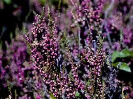 Calluna vulgaris, Scotch Heather - Plant Database - University of ...
